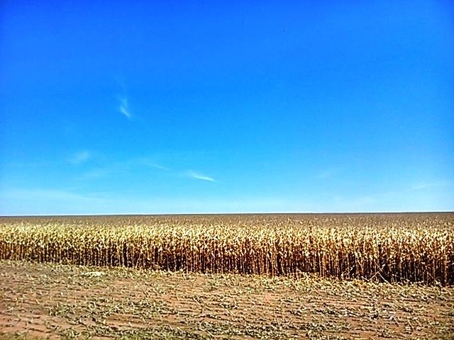 Inicia a colheita do milho safrinha na região sul de Goiás