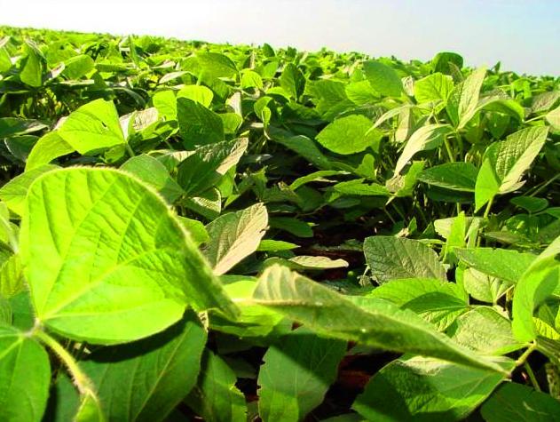 Simbiose agrícola – Conheça o Bradyrhizobium japonicum