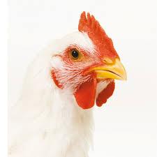 O que é frango de corte?