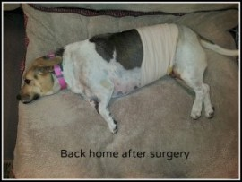 Phoebe after surgery with bandage