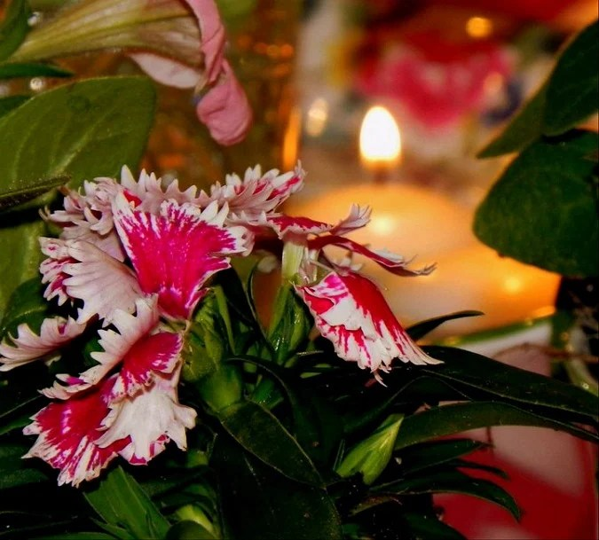 Sweet William by candlelight.intelligentdomestications.com
