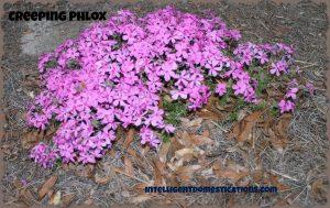 Creeping Phylox.intelligentdomestications.com
