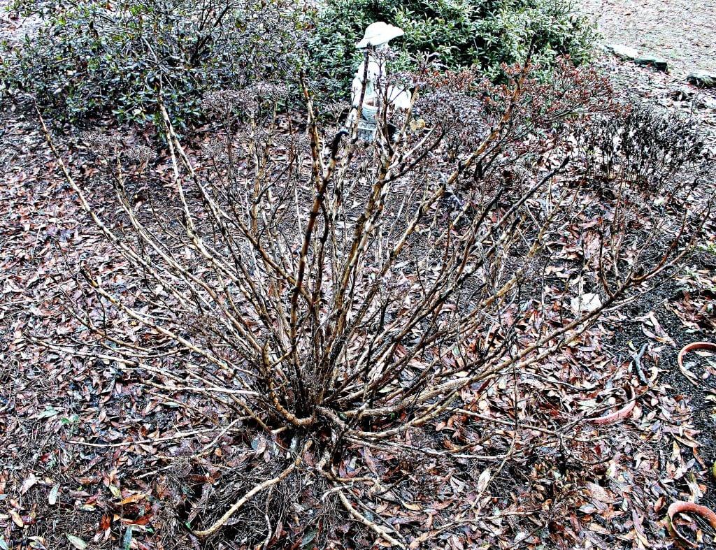 Hydrangea during winter, just sticks. DO NOT PRUNE.www.intelligentdomestications.com