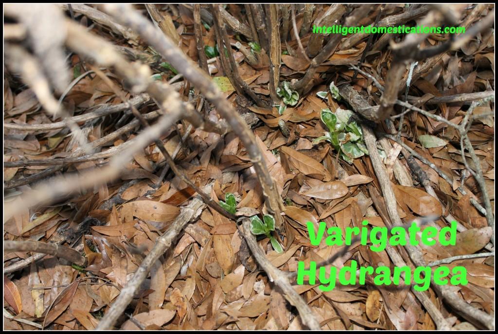Variegated Hydrangea.intelligentdomestications.com