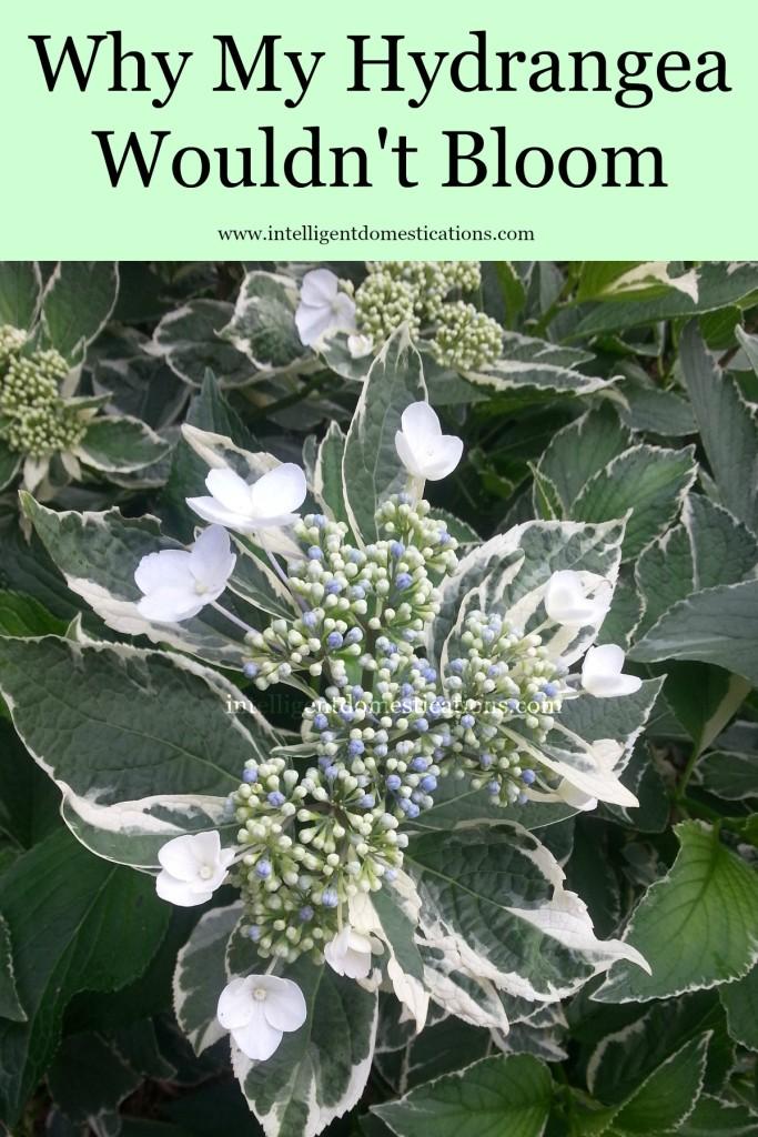 Why My Hydrangea Wouldn't Bloom.www.intelligentdomestications.com