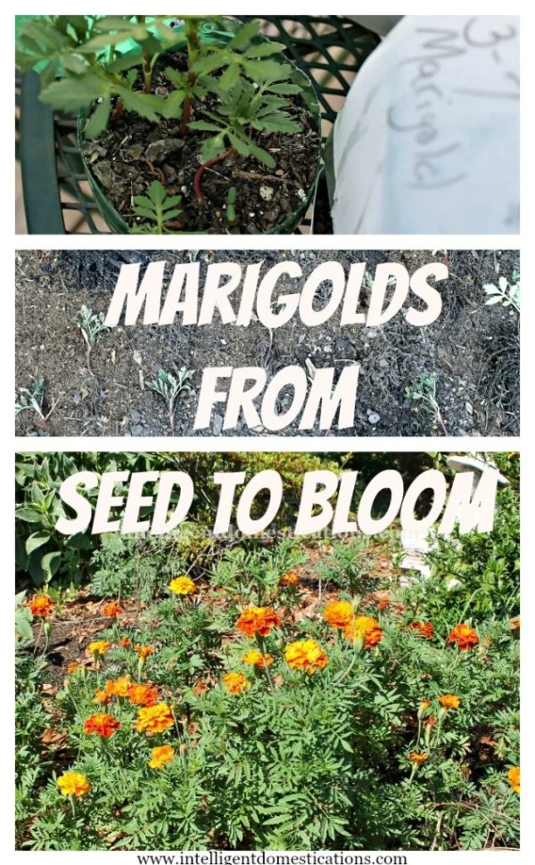 Marigolds from Seed to Bloom. Learn how to grow marigolds.www.intelligentdomestications.com