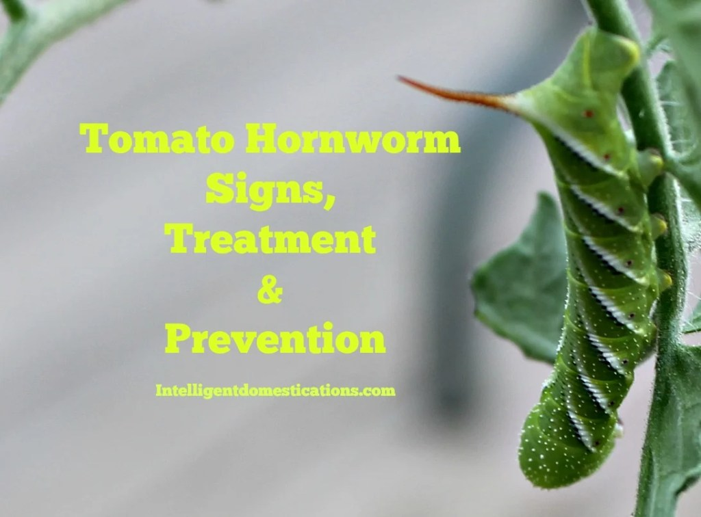 Tips for Tomato Hornworm. Signs, Treatment & Prevention