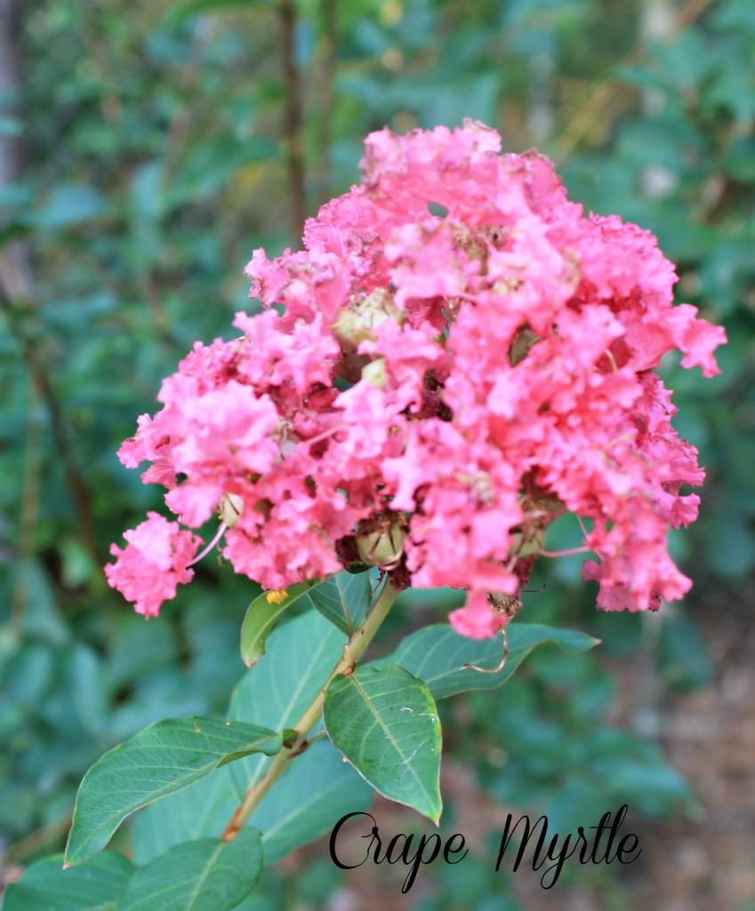 Crape Myrtle flower blooming.www.intelligentdomestications.com