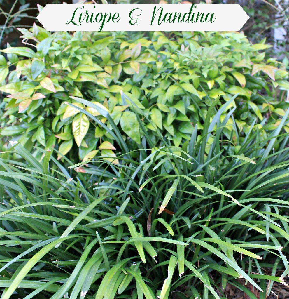 Nandina shrub bordered by Liriope