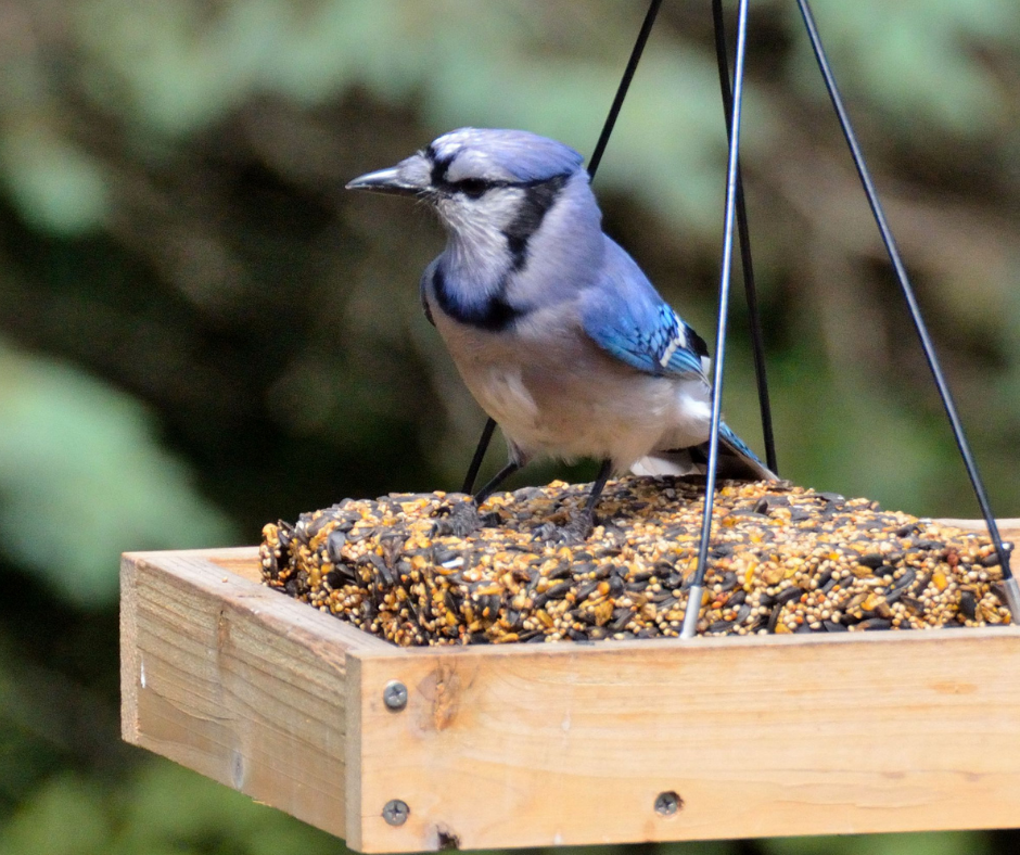 Blue jay sitting on suet in a bird feeder