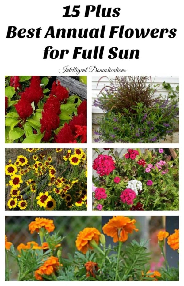 Best Annual Flowers for full sun. Which flowers to plant for full sun. Flower to plant for curb appeal. Annual flowers which love full sun. #curbappeal