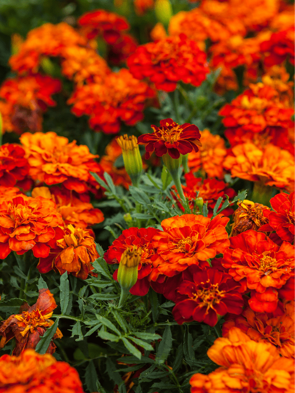 A bed of deep orange Marigold annual flowers