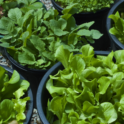 3 Reasons To Grow A Salad Bowl Garden