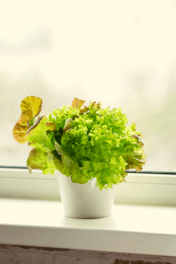 lettuce growing in a container in a windowsill