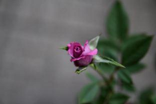 Lavender Lace Mini Rose by Andor (4)