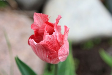 Tulips © Andor (4)