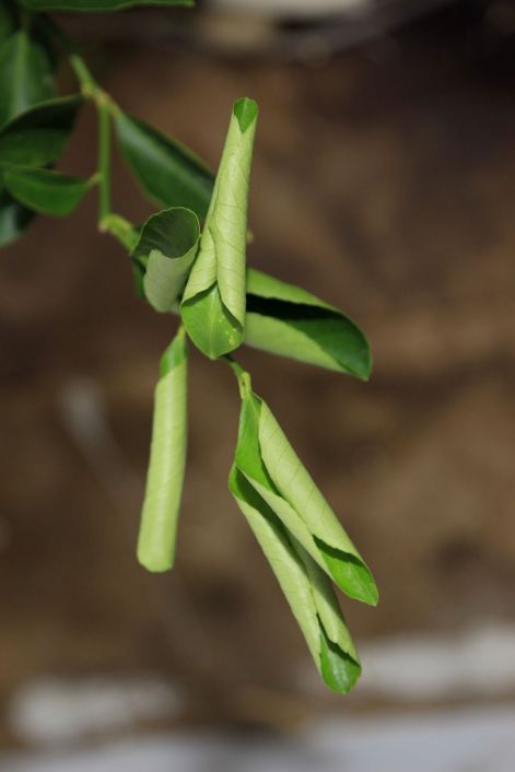 7 Mexican Sweet Lime Leaves © Andor
