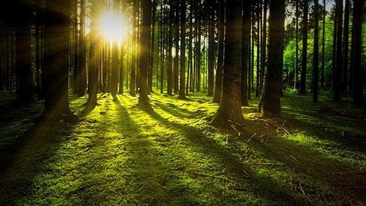 Nachhaltigkeit im Wald. Sonne scheint zwischen den Bäumen im Wald durch.