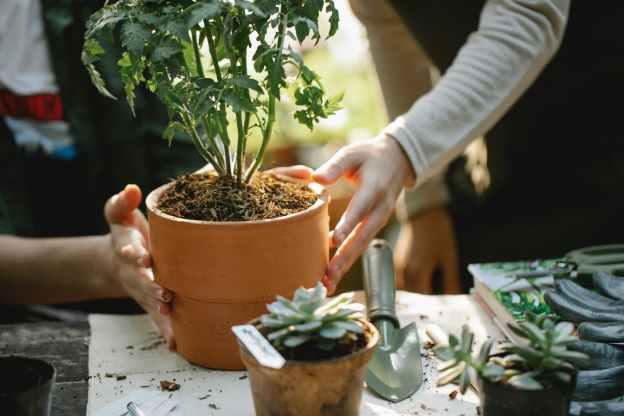 gardeners planting seedling in pots in greenhouse