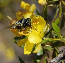 Solitary bee Megachile sp. visiting flowers of Larrea divaricata in Villvicencio Nature Reserve. Photo: Diego Vázquez.