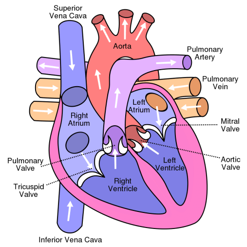 Image result for human heart labeled diagram