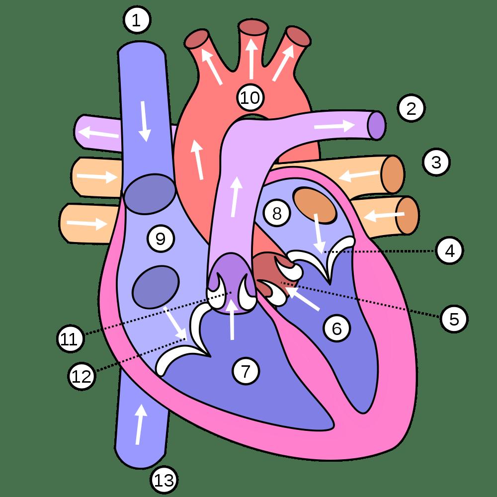 medium resolution of heart numbered
