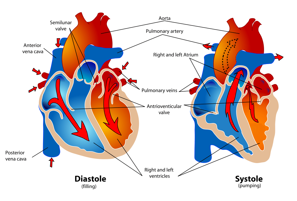 interior heart diagram glock 21 show me a of the human here are bunch systole and diastole