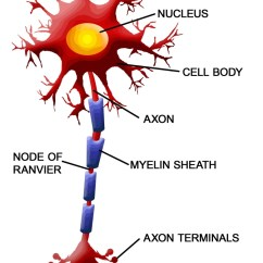Detailed Neuron Diagram Whirlpool Roper Dryer Wiring The External Structure And Classification Interactive Of