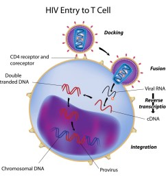 hiv entry into t cell [ 1024 x 1024 Pixel ]