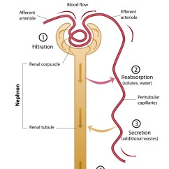 Nephron Diagram From A Textbook Pupil Size The Functioning Unit Of Kidney Interactive Biology Renal Tubule