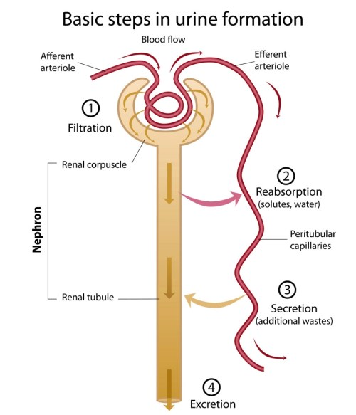 small resolution of renal tubule