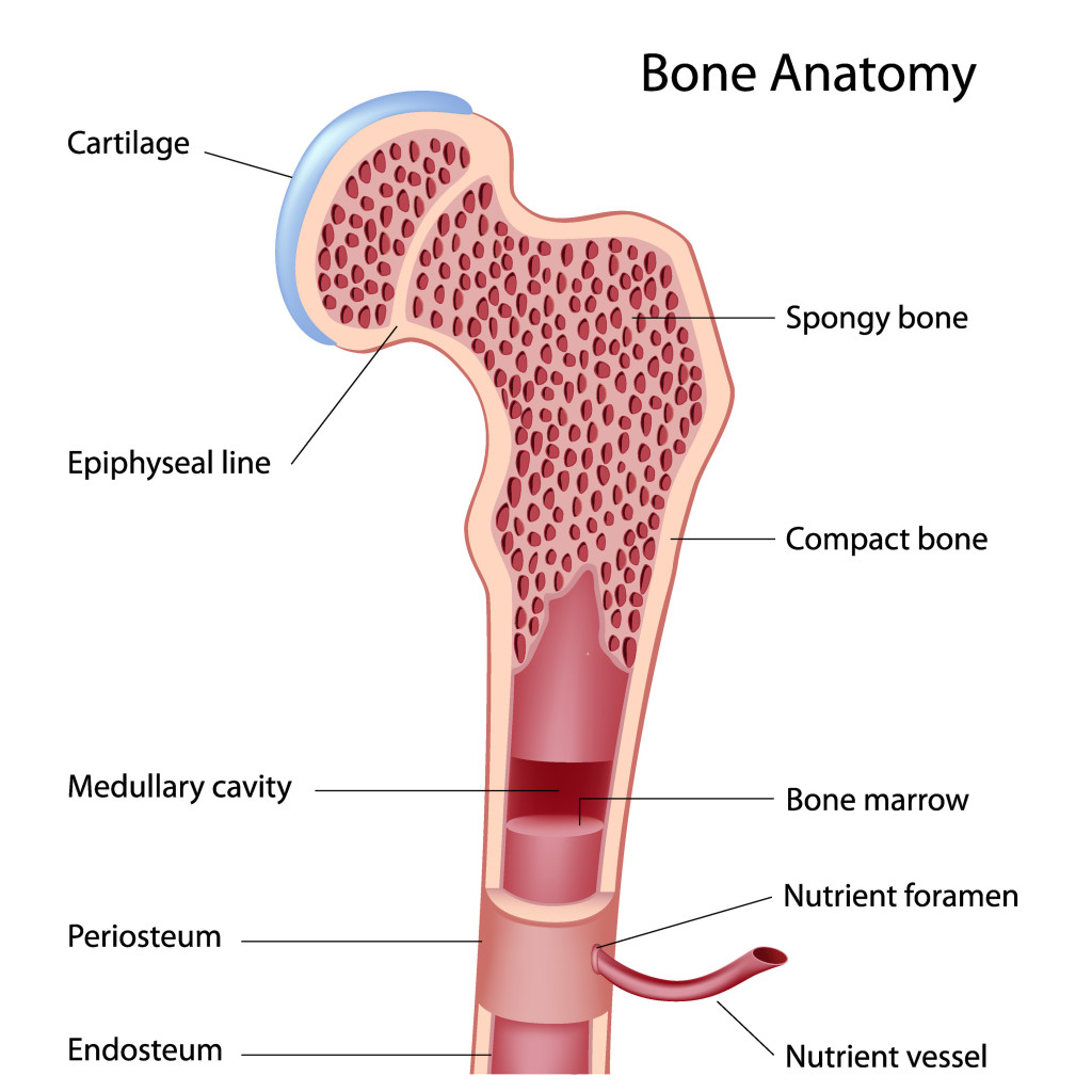 hight resolution of bones a brief review on its functions types structure and development interactive biology with leslie samuel