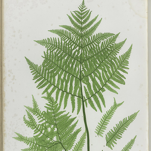 The Ferns of Great Britain and Ireland, pl.XLIV