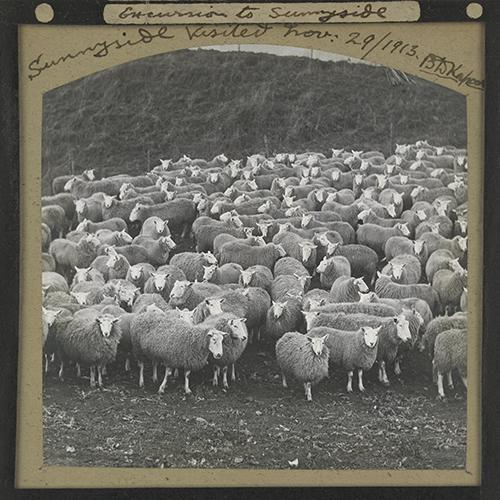 Roslin Glass Slides, No. 2782 - sheep