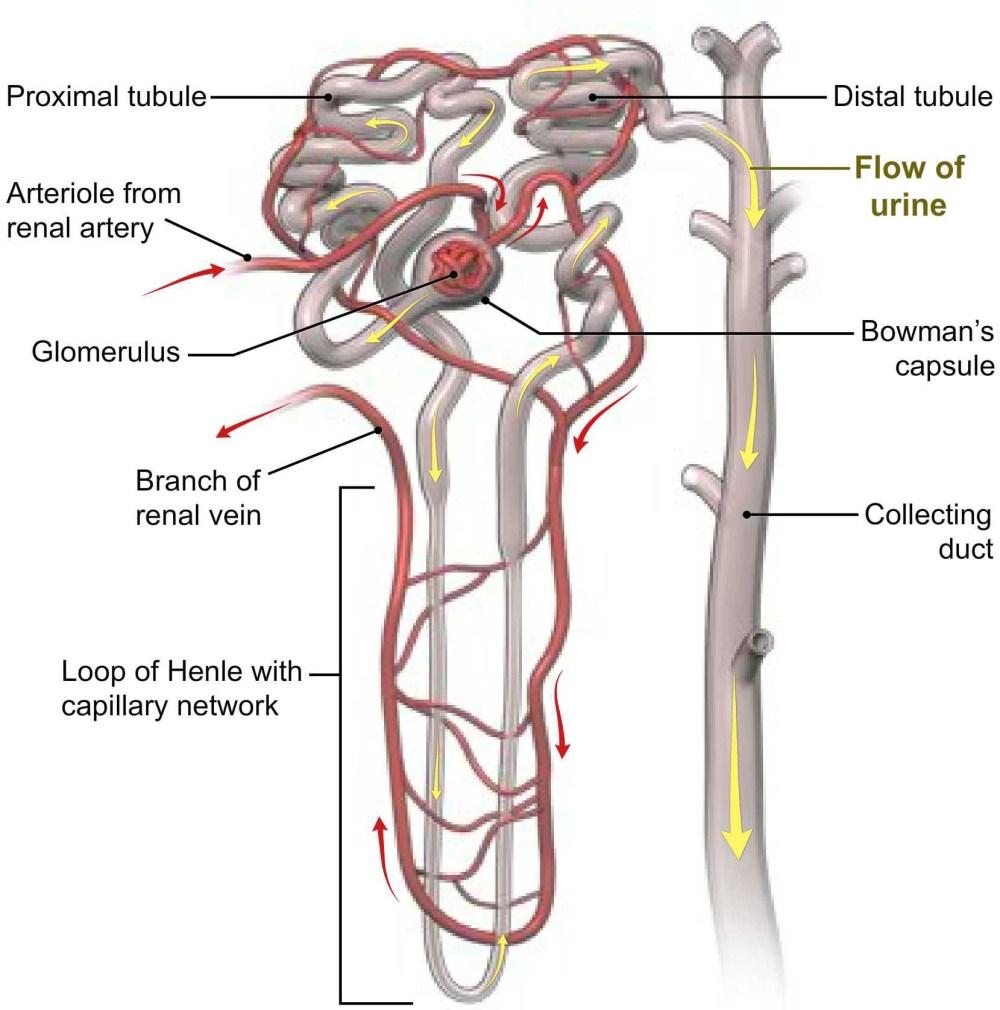 medium resolution of urine formation diagram
