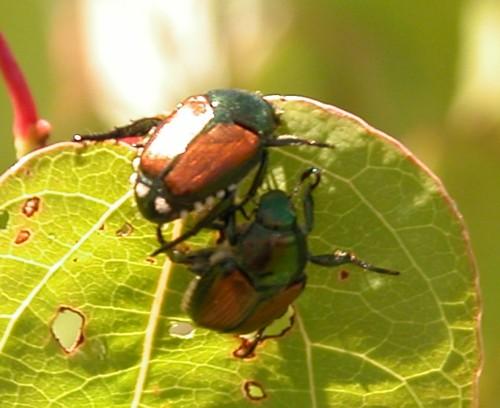 Jap_Beetles