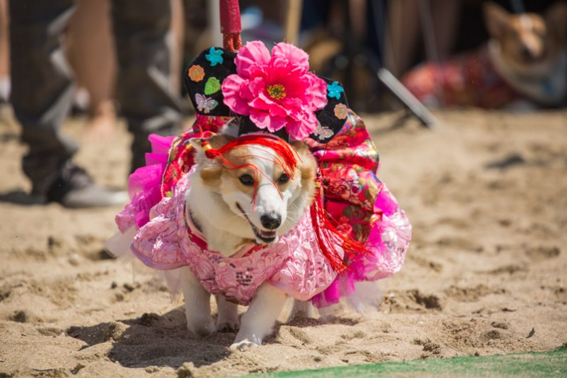 Corgi Beach Day Spring 17