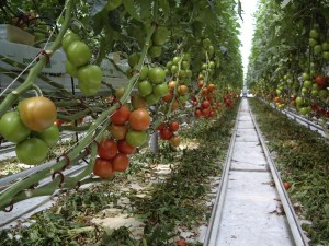 Forest of Tomatoes