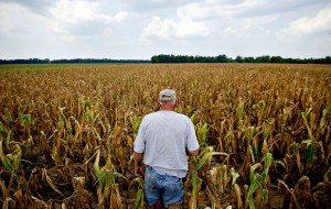 parched corn field