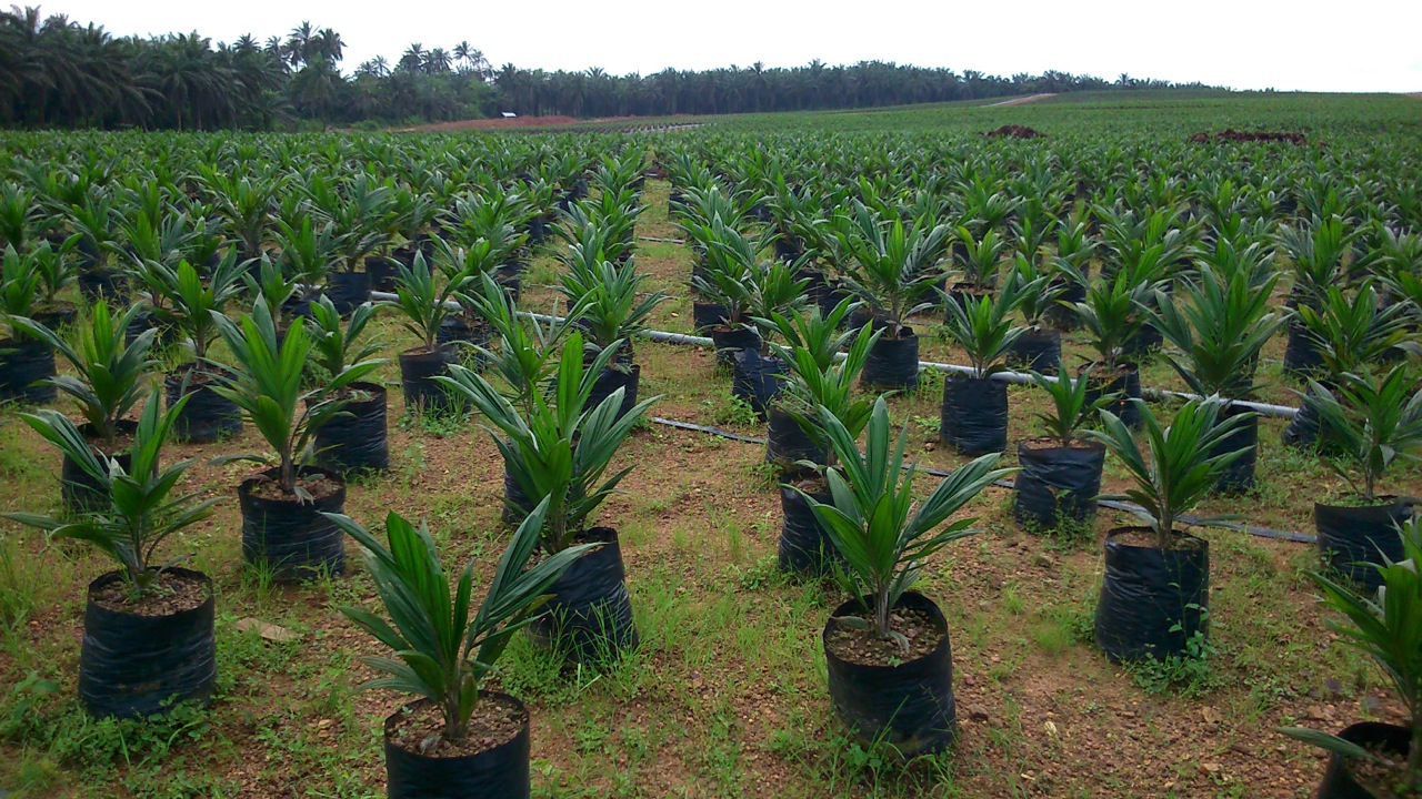 Wilmar oil palm nursery, Cross River State, Nigeria