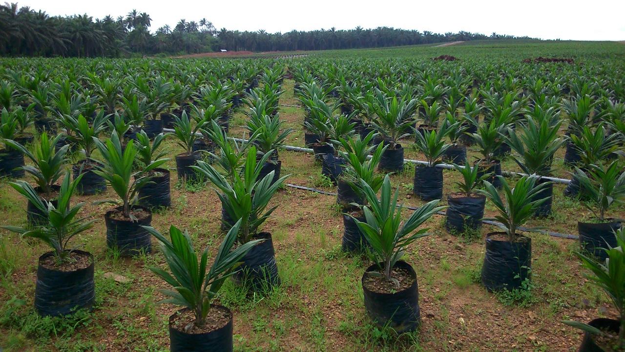 Wilmar oil palm nursery, Cross River State, Nigeria