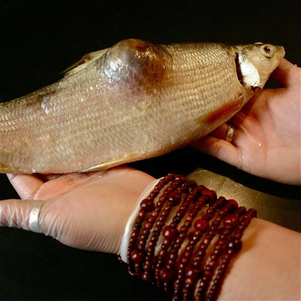 Fish caught in Lake Athabasca downstream of the tar sands. (Photo: Toby McLeod)