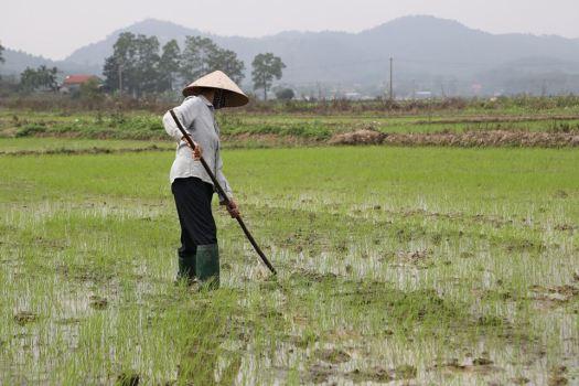 Paddy fields.jpg