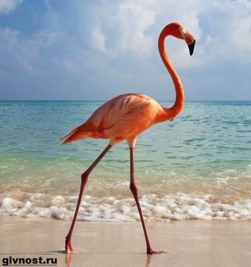Flamingo tassut. Flamingo Kuvaus ja ominaisuudet