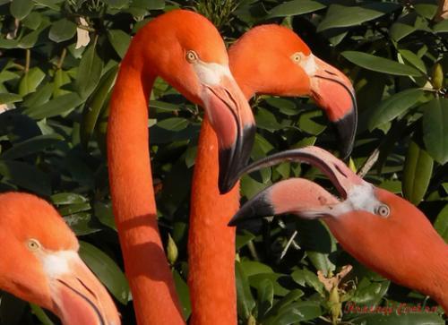 Punainen Flamingo - epätavallinen kauneus, ruoka Karibian saarilla