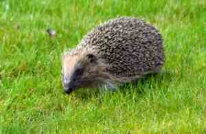 hedgehog-the-mower-larkin