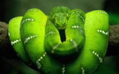 Tree Snake on Branch wallpaper