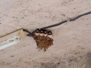 swallows-203664_640
