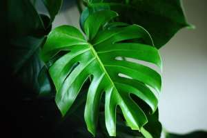 10 luchtzuiverende planten monstera interiorqueen woonblog