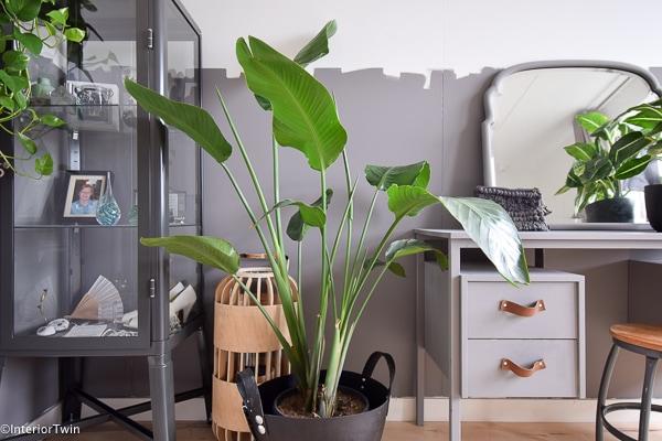 Strelitzia als slaapkamerplant